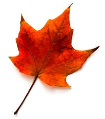 black maple leaf