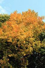 Black Maple Tree