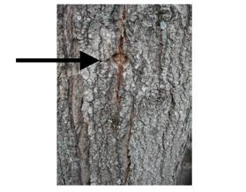 It May Take Other Trees Up To 3 Years Grow Over A Tap Hole Here Is An Example Of After One Year Recovery