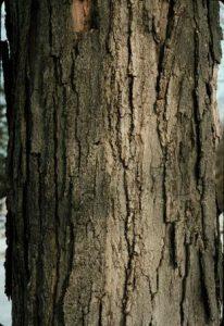 Sugar Maple Tree Bark