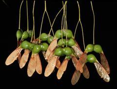 Sugar Maple Tree Fruit
