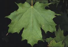 Sugar Maple Tree Leaf